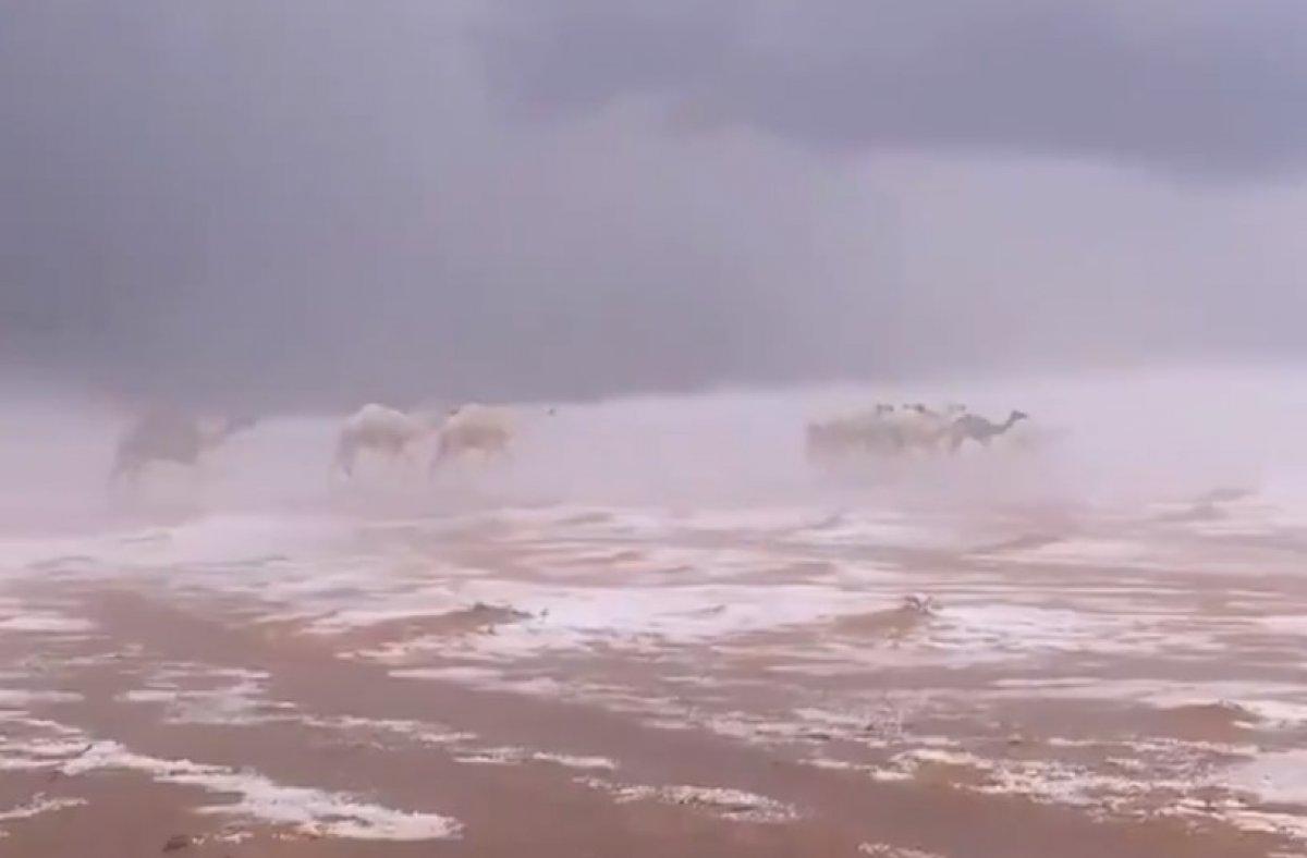 Suudi Arabistan da karda yürüyen develer #2