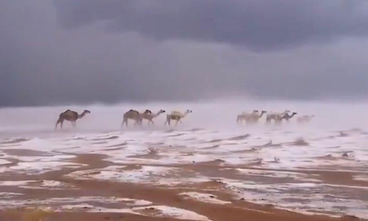 Suudi Arabistan da karda yürüyen develer #3